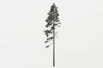 Rachel Wickremer | 'Scotch Pine' (Tree series) | £ 300