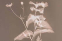 Brenda Hofmann - Herbes folles dont bouton dor - photogram | £ 390