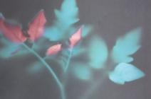 Brenda Hofmann - Solanum Lycopersicum - photogram | £ 390