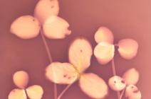 Brenda Hofmann - Trifolium Repens - photogram | £ 390